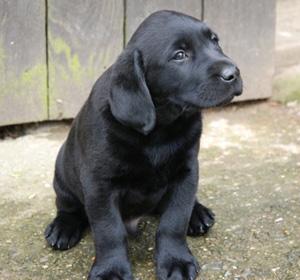 Labrador: tutte le caratteristiche