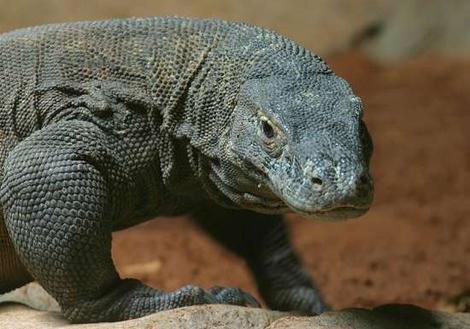 Dragone di komodo: caratteristiche, dove si trova e cosa mangia