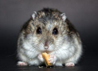 Criceti russi: cosa sono, caratteristiche e cosa mangiano