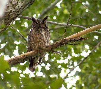 L'assiolo: che uccello è? Dove vive?