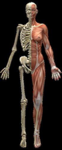 Acetabolo: l'osso che serra la testa del femore
