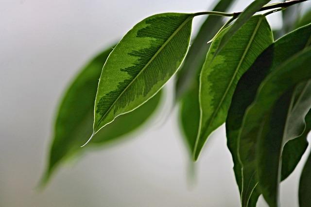 Ficus Benjamin: come utilizzarla come pianta ornamentale